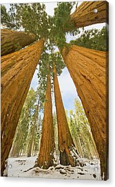 Giant Sequoias And First Snow Acrylic Print