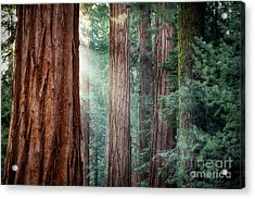 Giant Sequoias In Early Morning Light Acrylic Print