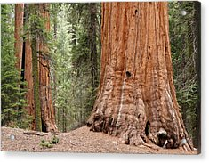 Giant Sequoias Acrylic Print