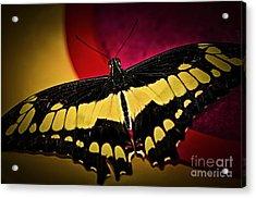Giant Swallowtail Butterfly Acrylic Print by Elena Elisseeva