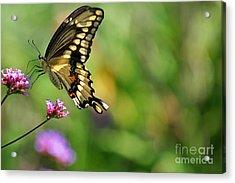 Giant Swallowtail Butterfly Acrylic Print by Karen Adams