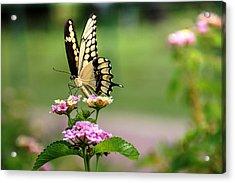 Giant Swallowtail Butterfly Acrylic Print by Lorri Crossno