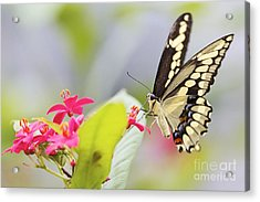 Giant Swallowtail II Acrylic Print by Pamela Gail Torres