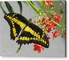 Acrylic Print featuring the photograph Giant Swallowtail by Jennifer Wheatley Wolf