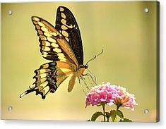 Giant Swallowtail Acrylic Print by Lorri Crossno