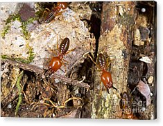 Giant Termites Acrylic Print by Dr Morley Read