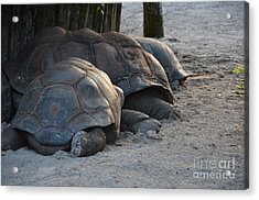 Acrylic Print featuring the photograph Giant Tortise by Robert Meanor