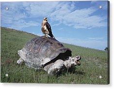 Giant Tortoise And Galapagos Hawk Acrylic Print