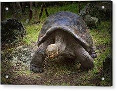 Giant Tortoise Acrylic Print by Kim Andelkovic