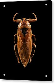 Giant Water Bug Acrylic Print by Science Photo Library