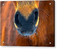 Gift Horse Acrylic Print