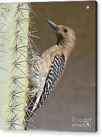 Acrylic Print featuring the photograph Gila Woodpecker by Deb Halloran