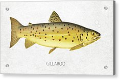 Gillaroo Acrylic Print by Aged Pixel