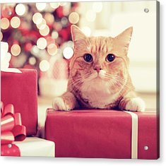 Ginger British Shorthair Cat In The Acrylic Print by Elenaleonova