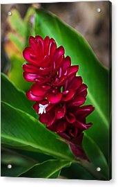 Ginger Flower Acrylic Print by April Reppucci