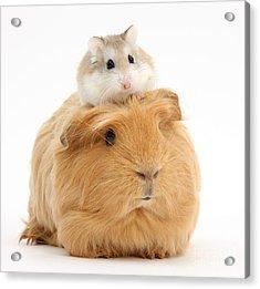 Ginger Guinea Pig And Roborovski Hamster Acrylic Print