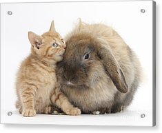 Ginger Kitten And Lionhead-lop Rabbit Acrylic Print