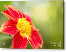 Ginger Acrylic Print by Beve Brown-Clark Photography