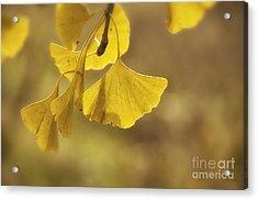 Gingko Gold Acrylic Print