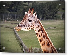 Giraffe 02 Acrylic Print