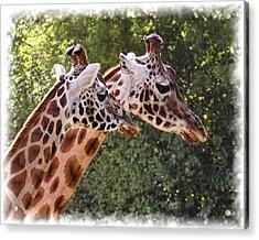 Giraffe 03 Acrylic Print