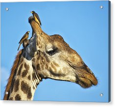 Acrylic Print featuring the photograph Giraffe And Oxpeckers by Gigi Ebert
