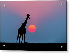 Giraffe At Sunset Chobe Np Botswana Acrylic Print by Andrew Schoeman