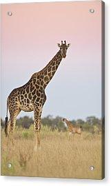 Giraffe At Sunset Acrylic Print
