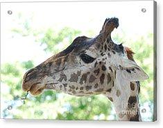 Giraffe Chewing On A Tree Branch Acrylic Print by DejaVu Designs