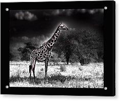 Giraffe Acrylic Print by Christine Sponchia