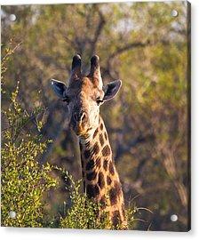 Giraffe Acrylic Print by Craig Brown