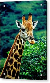 Acrylic Print featuring the photograph Giraffe by Dennis Cox WorldViews