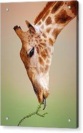 Giraffe Eating Close-up Acrylic Print