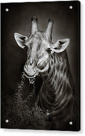 Giraffe Eating Acrylic Print by Johan Swanepoel
