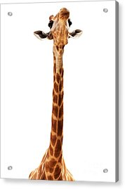Giraffe Head Isolate On White Acrylic Print by Mythja  Photography