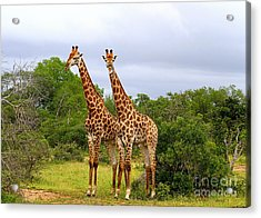 Giraffe Males Before The Storm Acrylic Print