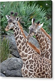 Giraffe Massage Acrylic Print by Richard Bryce and Family
