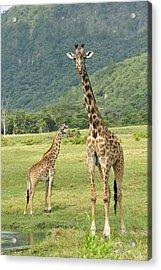 Giraffe Mother And Calftanzania Acrylic Print by Thomas Marent