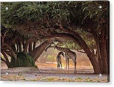 Giraffe - Namibia Acrylic Print by Giuseppe D\\\'amico