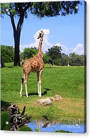 Acrylic Print featuring the photograph Giraffe On A Spring Day by Jeanne Forsythe