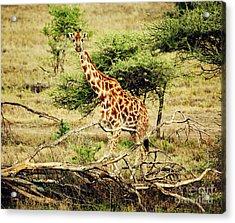 Giraffe On African Savanna Acrylic Print by Michal Bednarek