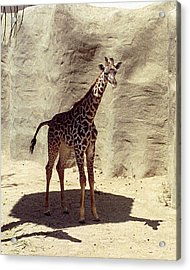 Acrylic Print featuring the photograph Giraffe by Philomena Zito