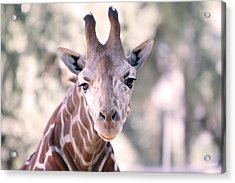 Acrylic Print featuring the pyrography Giraffe Staring  by Shoal Hollingsworth