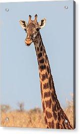 Giraffe Tongue Acrylic Print by Adam Romanowicz