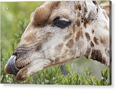 Giraffe With Tongue In Nostril Acrylic Print by Sean McSweeney