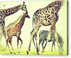 Acrylic Print featuring the photograph Giraffes And A Zebra In The Mist by Nick  Biemans