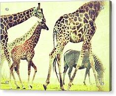 Giraffes And A Zebra In The Mist Acrylic Print