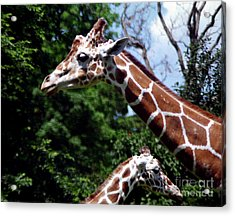 Acrylic Print featuring the photograph Giraffes Coming And Going by Tom Brickhouse