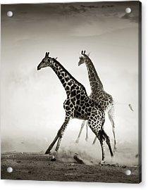Giraffes Fleeing Acrylic Print by Johan Swanepoel