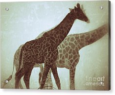Acrylic Print featuring the photograph Giraffes In The Mist by Nick  Biemans